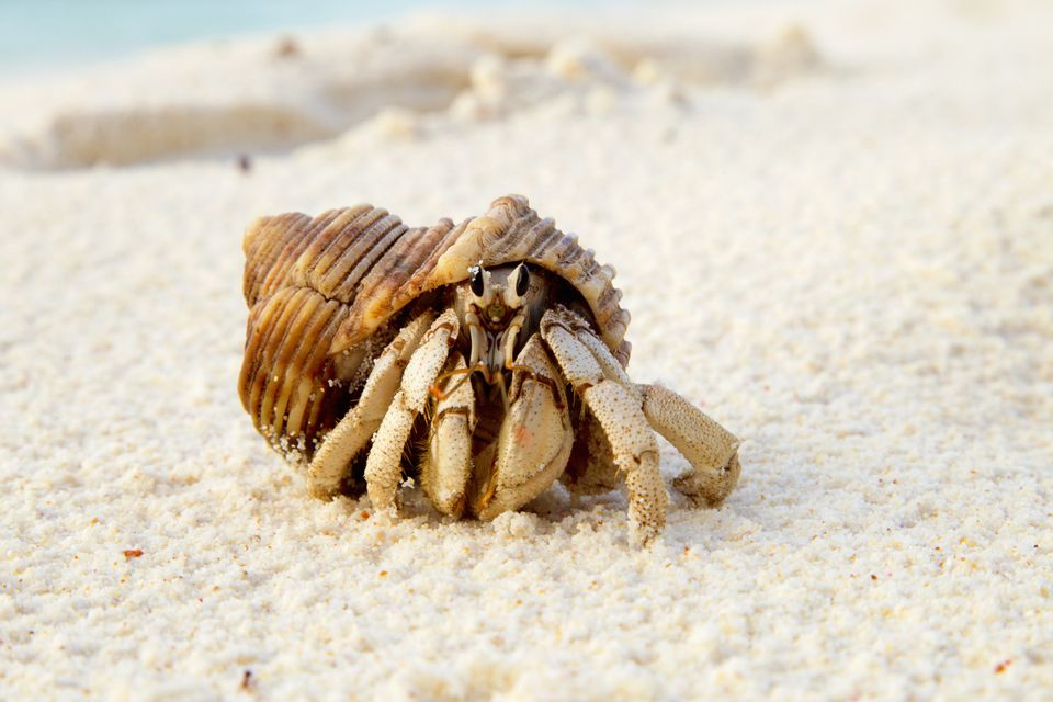 Hermit Crab (Anomura spp) on the sea shore.Cousine Island.Seychelles