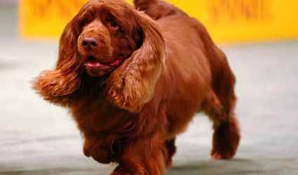 Sussex Spaniel Dog Breed Picture - Photo of Westminster Champion Sussex Spaniel Stump