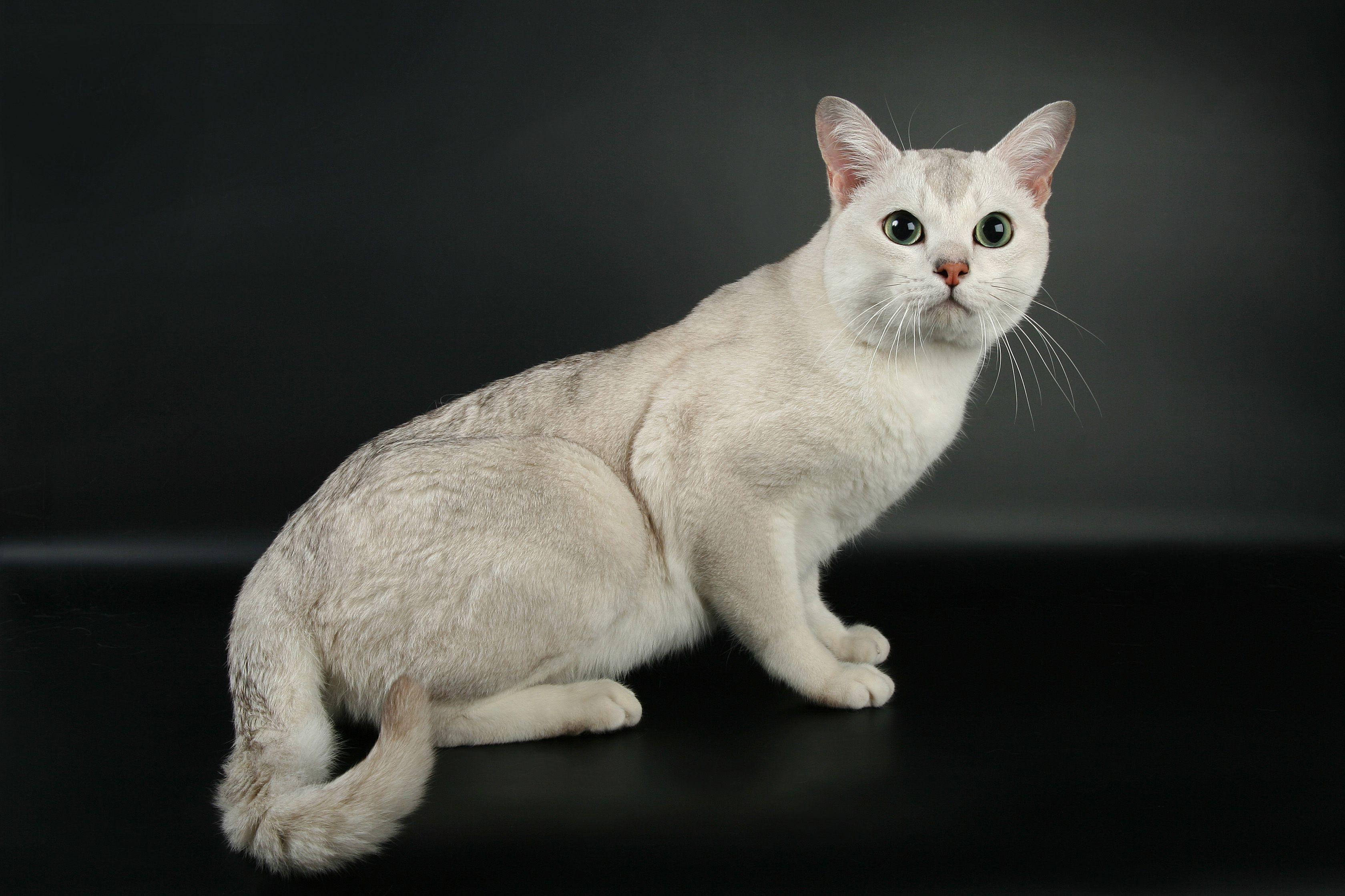 порода кошек бурмилла короткошерстная картинки это умение приобретается