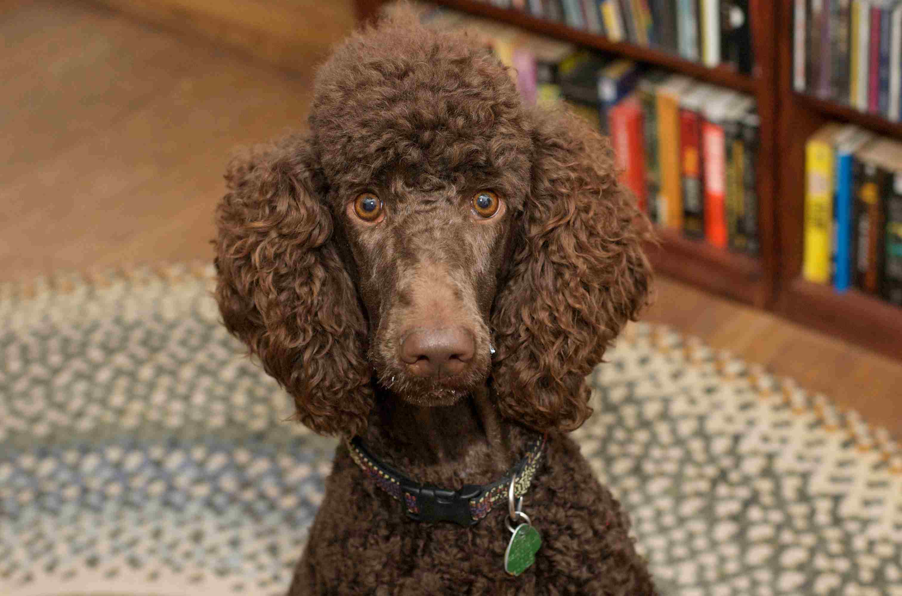 Chocolate poodle by a bookshelf