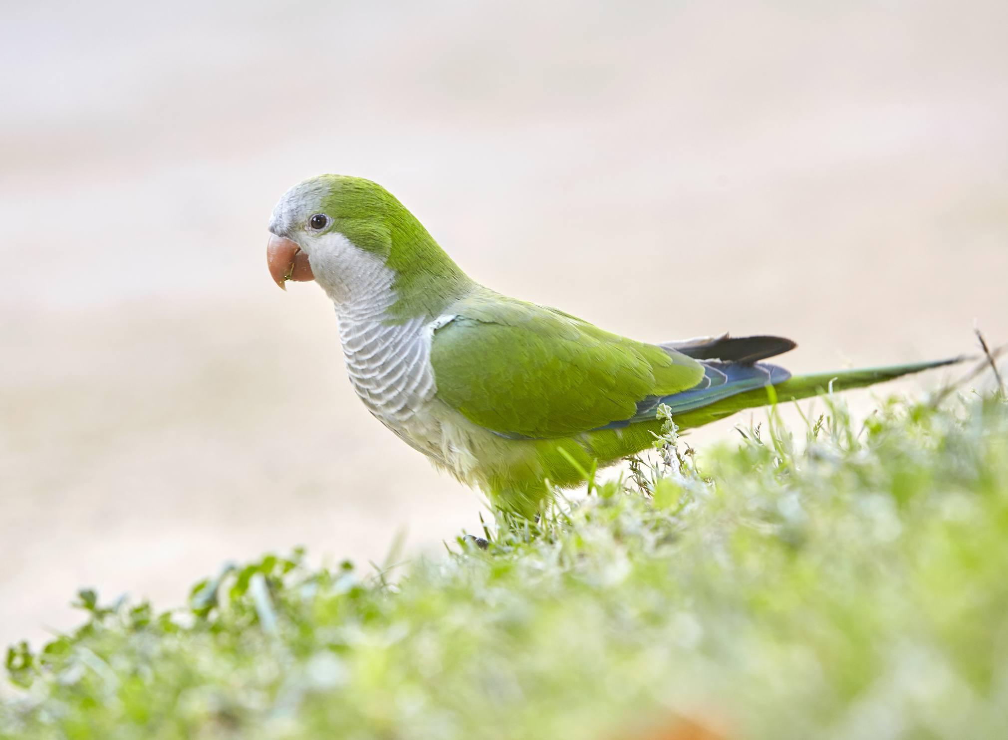 Quaker parakeet standing in grass