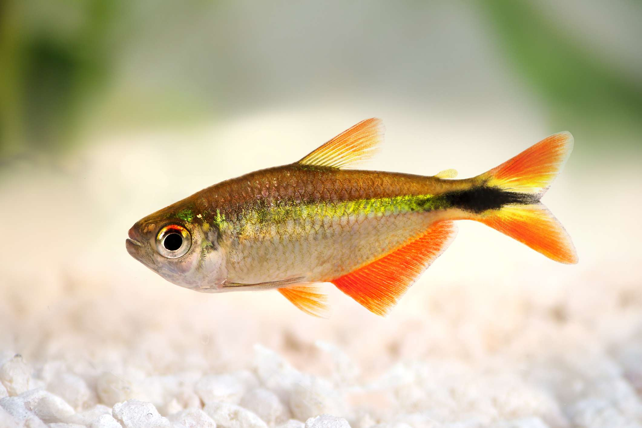 Buenos aires tetra fish