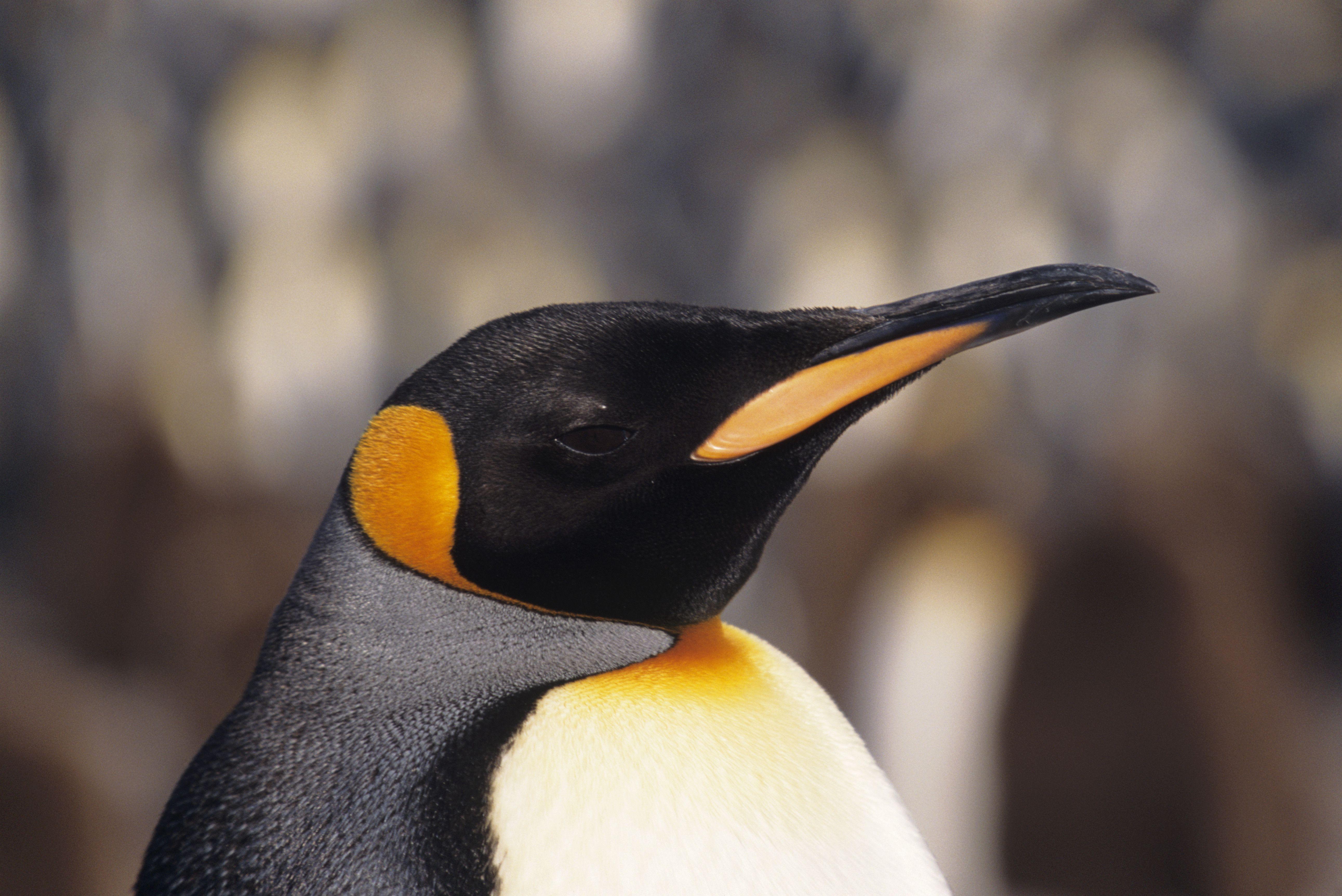 King penguin (Aptenodytes patagonicus), headshot