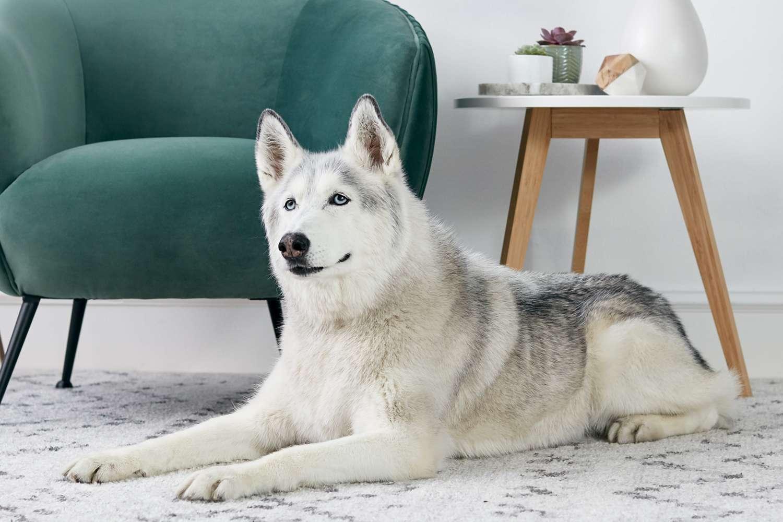 A Siberian Husky lounging on a rug