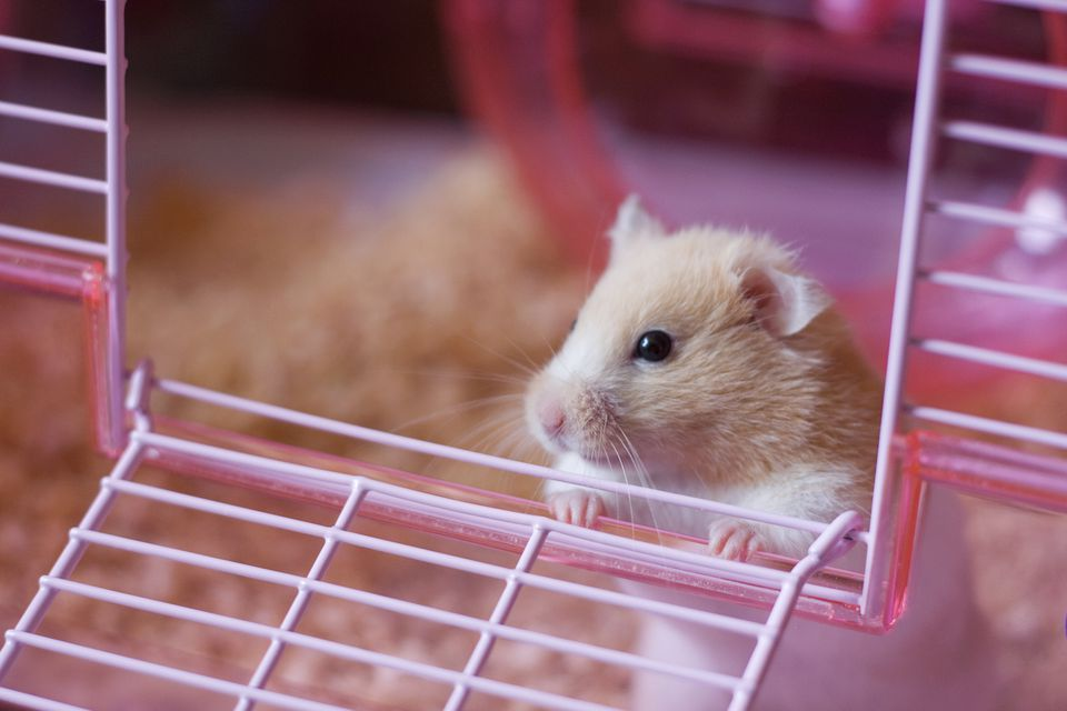 Hamster looking out of an open cage