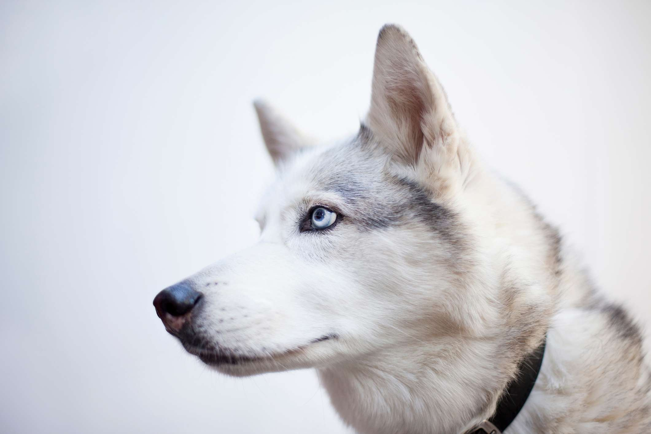 Close up of Siberian Husky with blue eyes outside.