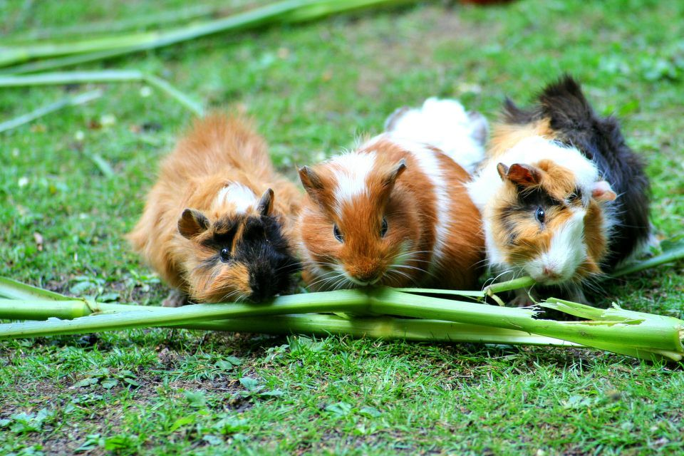 guinea pigs eating veggies