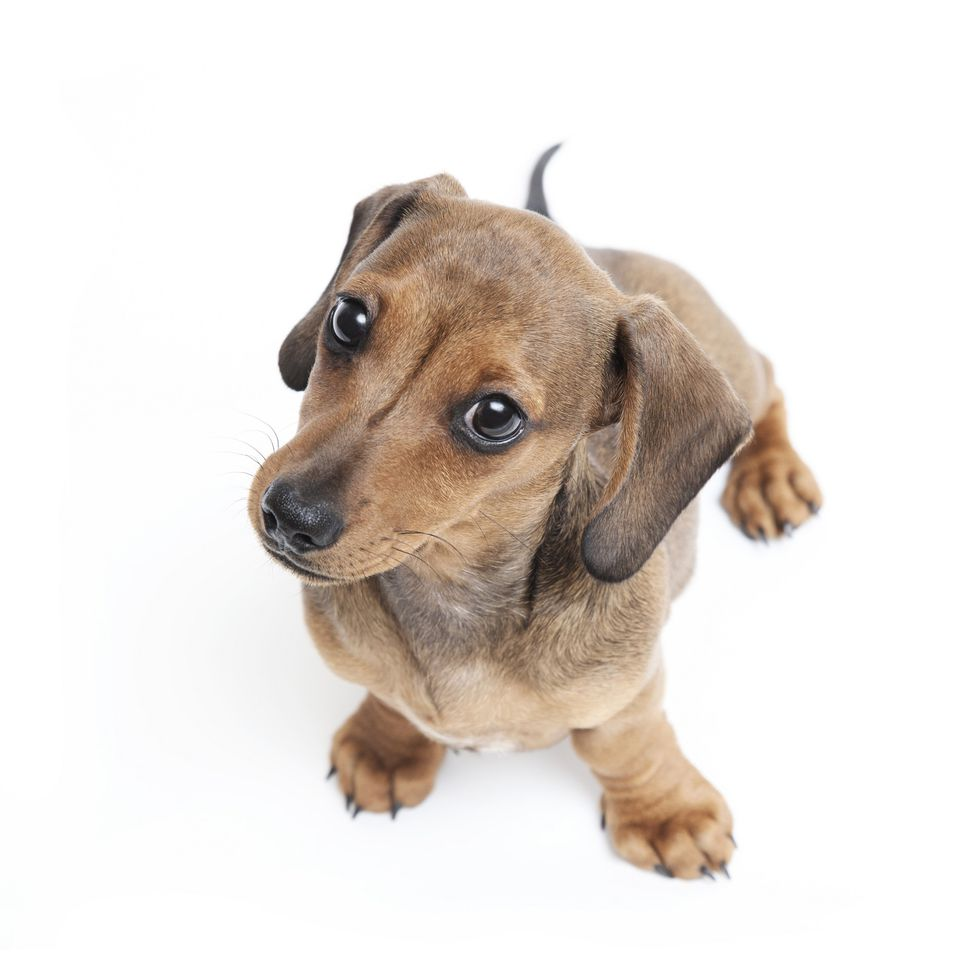 Dachsund puppy looking up at camera