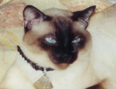 Photo of Siamese cat chance