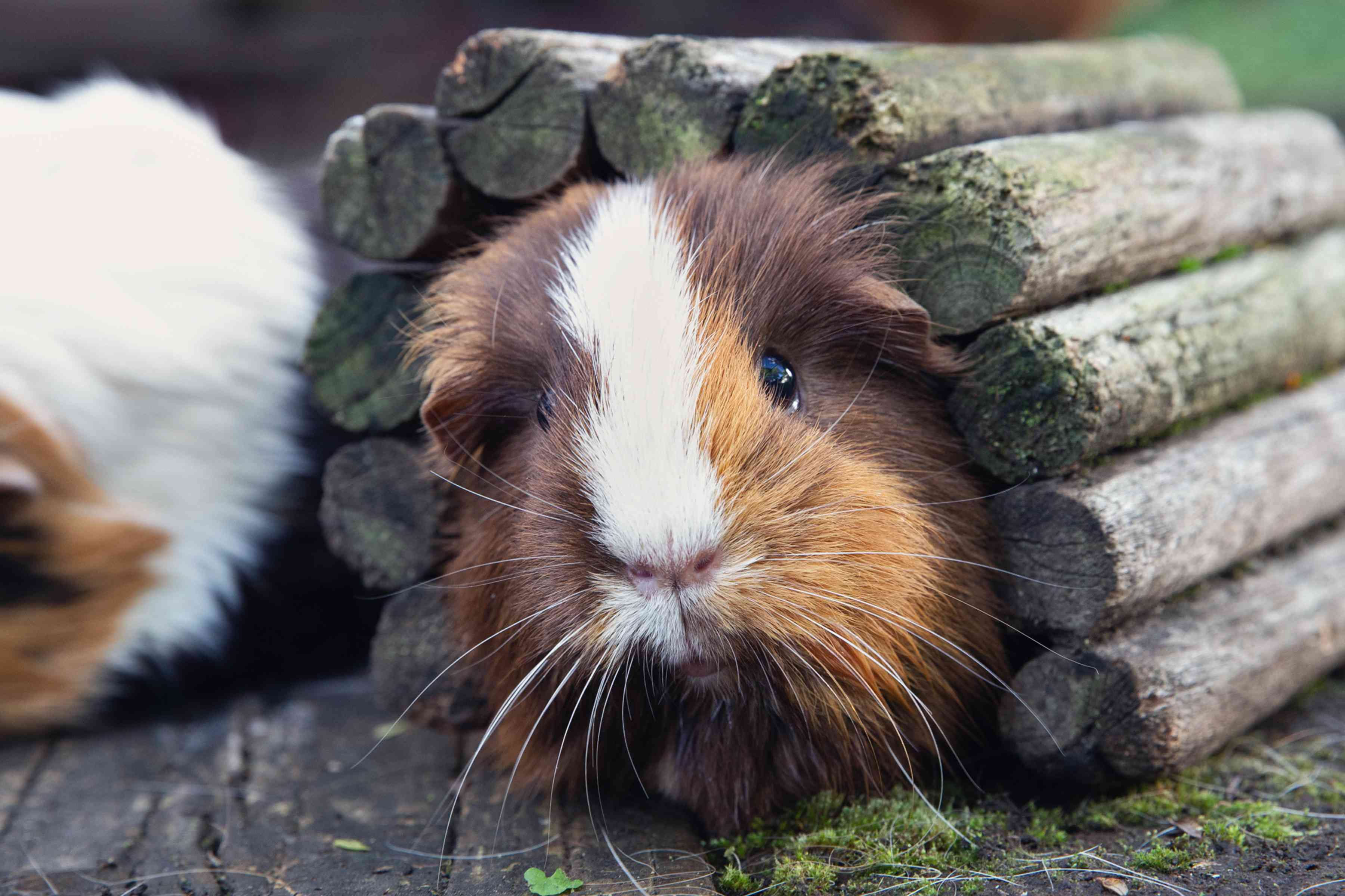 Guinea pig with brown and white hair poking its head out of wooden tunnel
