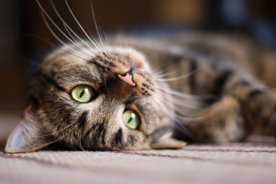 gato acostado mirando a cámara
