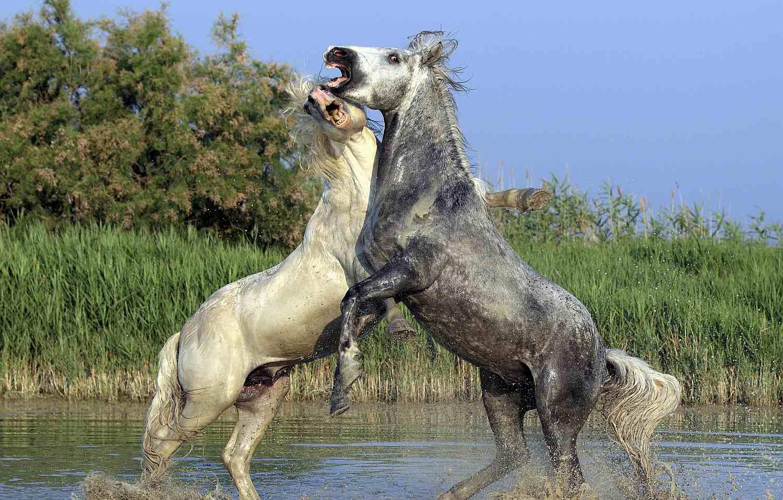 Camerague horses fighting