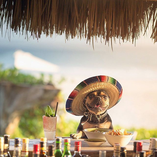 A black and brown Frenchie wearing a mexican sombrero while standing at a tequila bar.