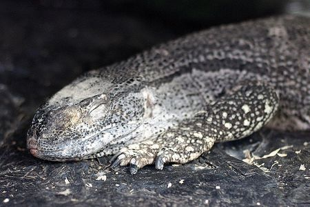 A Care Guide For Pet Black Throated Monitor Lizards