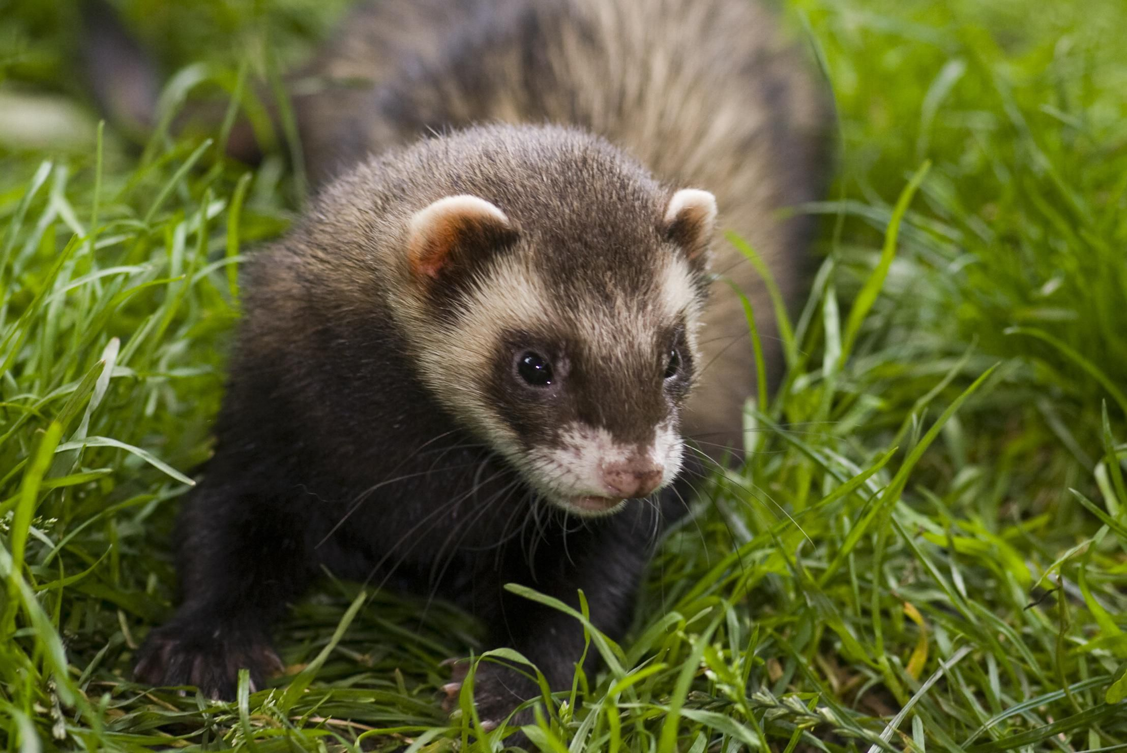 A Quick Guide To Ferret Food