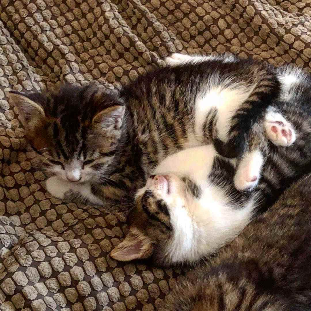 two brown and white kittens playing with each other