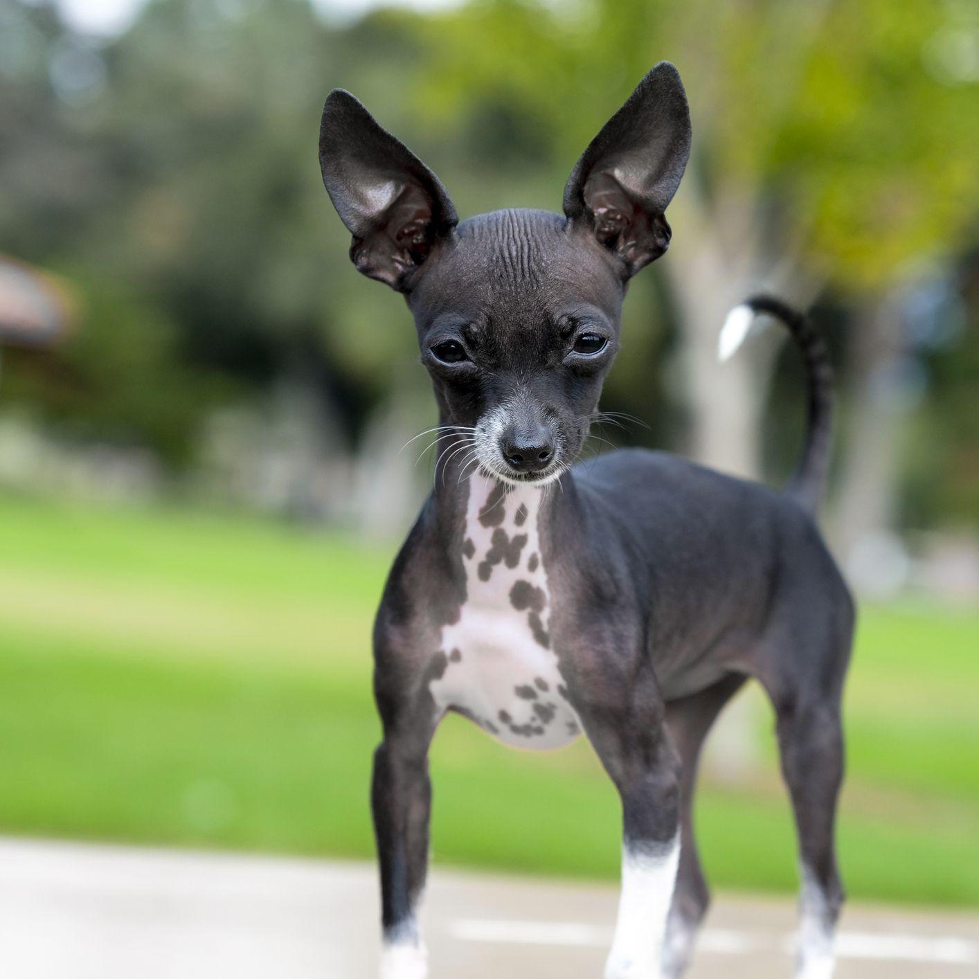 A hairless chihuahua puppy
