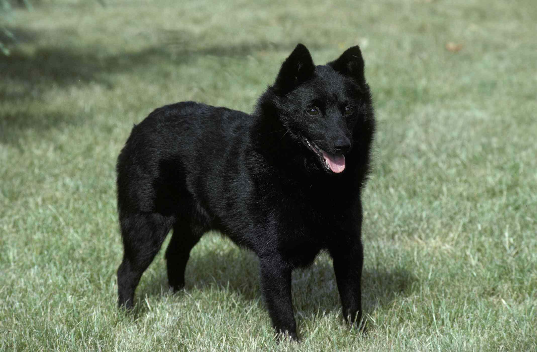 Schipperke dog standing in grass