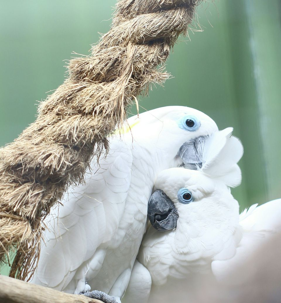 Umbrella Cockatoos preening each other