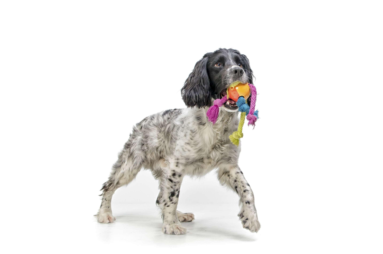 Un cachorro springer spaniel inglés con un juguete en su boca