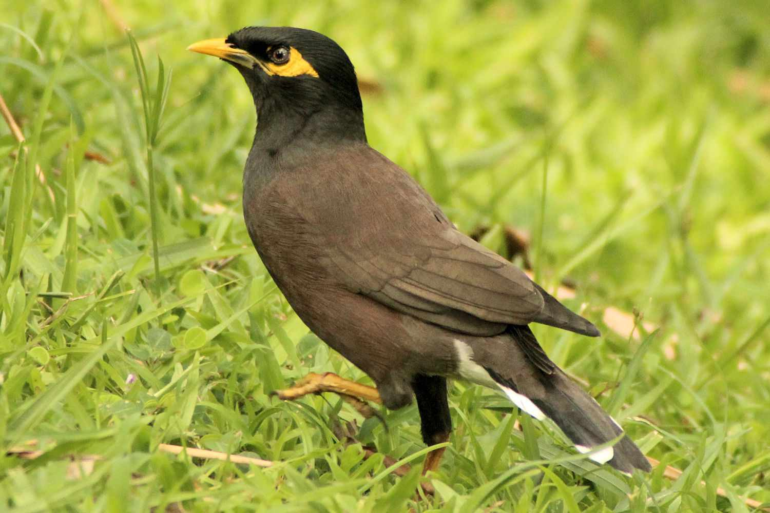 Common Myna Best trainable pet birds by thevetscare.com