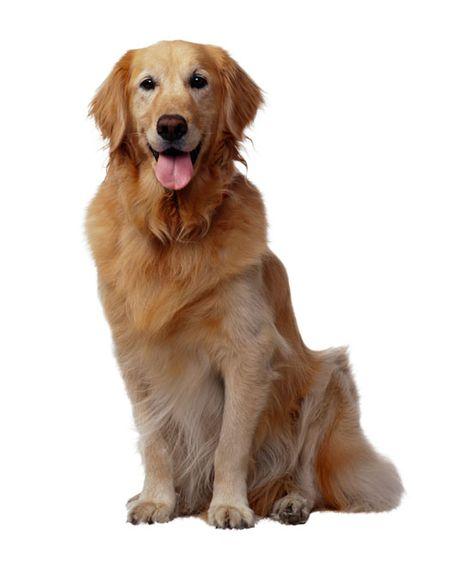 golden retriever dog breed profile