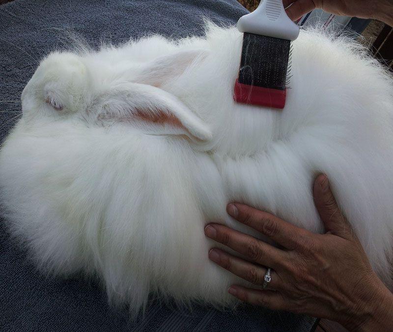 grooming Angora rabbits.jpg