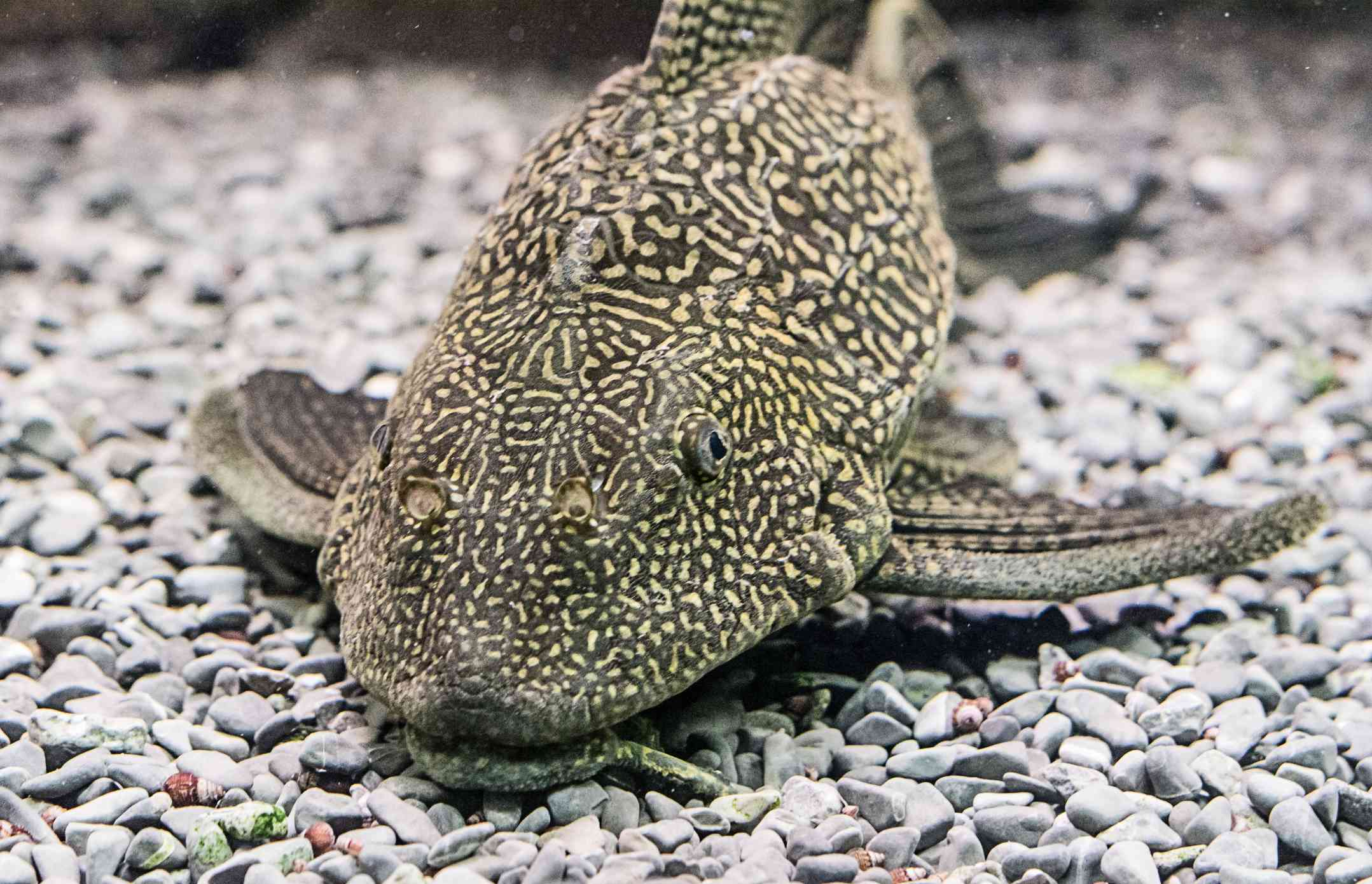 Plecostomus on gravel substrate