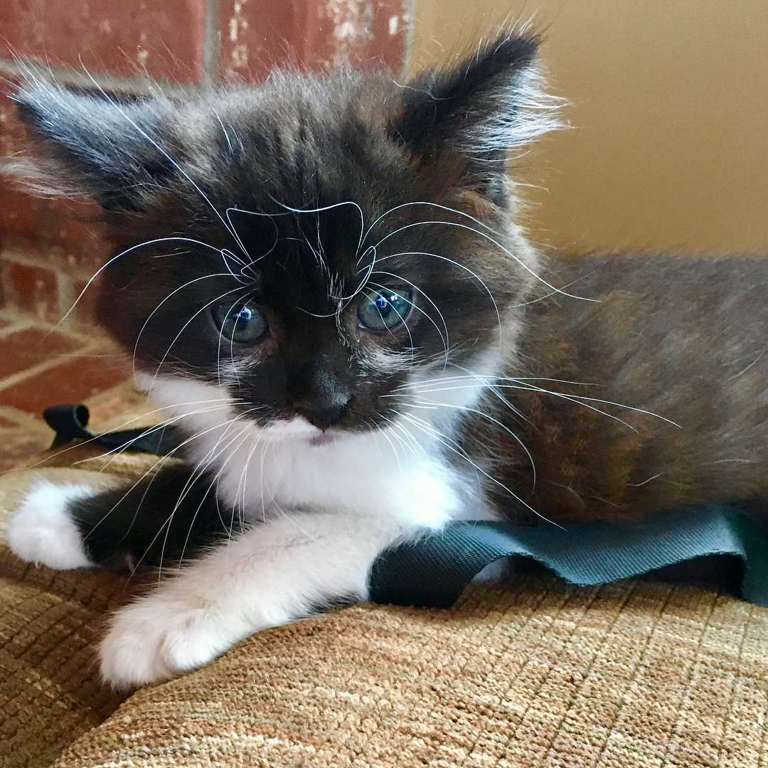 Confused tuxedo kitten