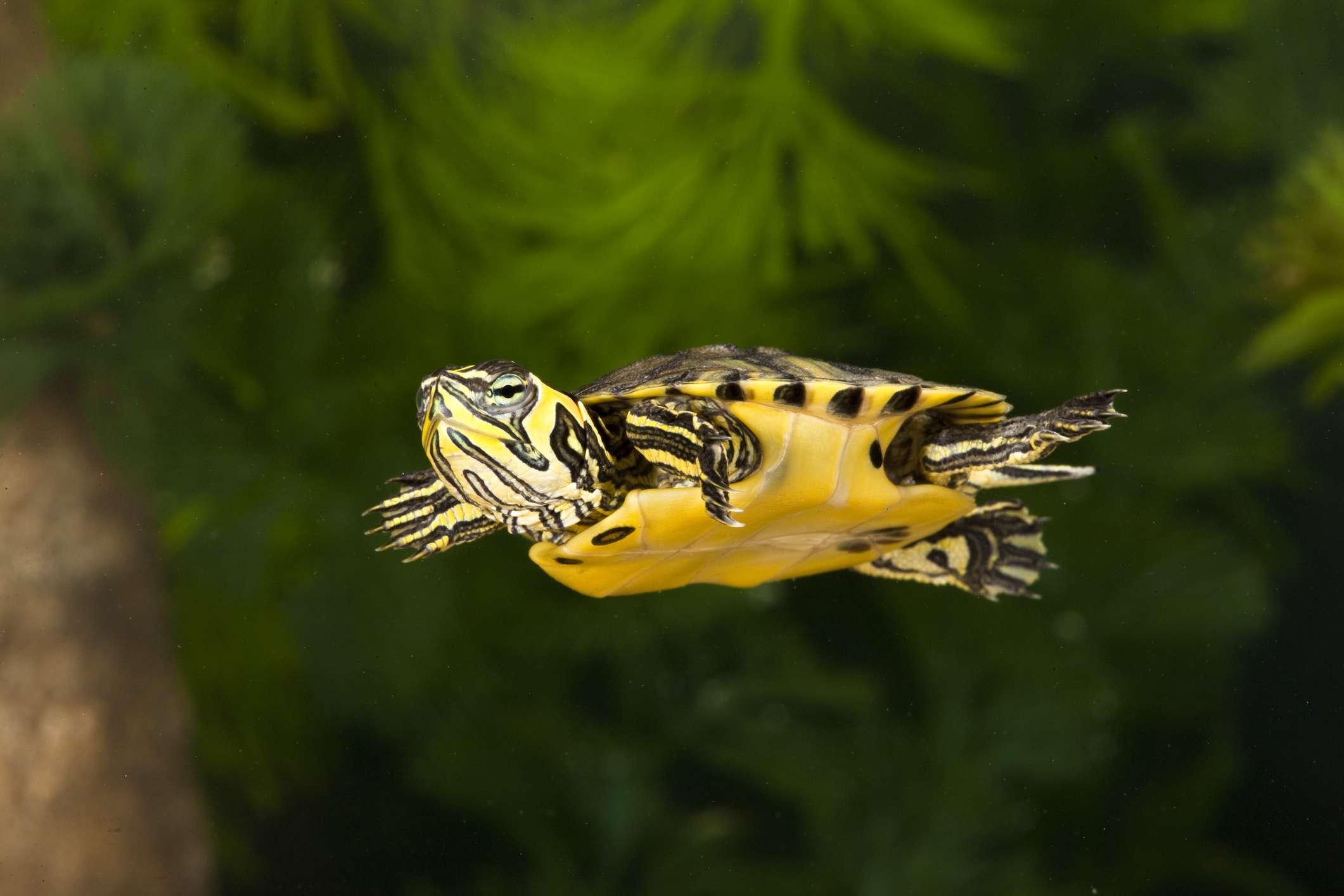 Yellow Belly Slider Swimming
