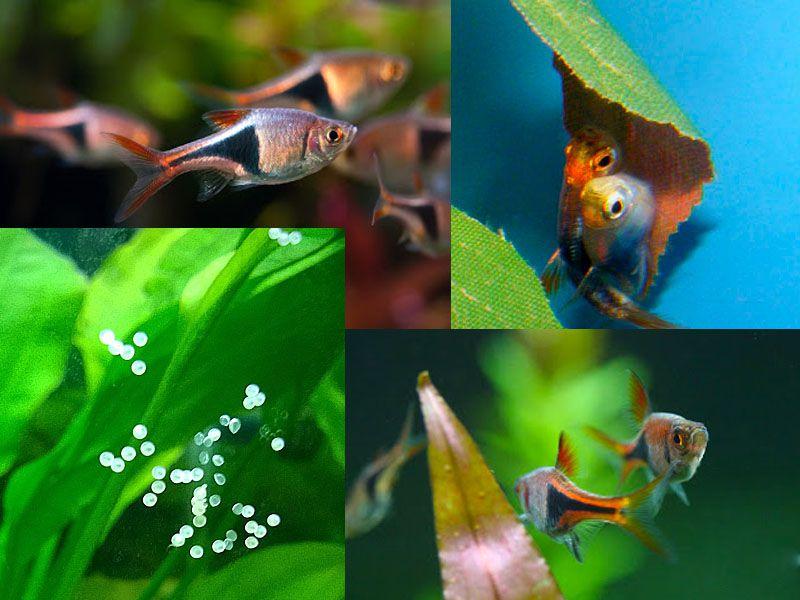 Arlequín Rasbora fácil de criar peces de acuario