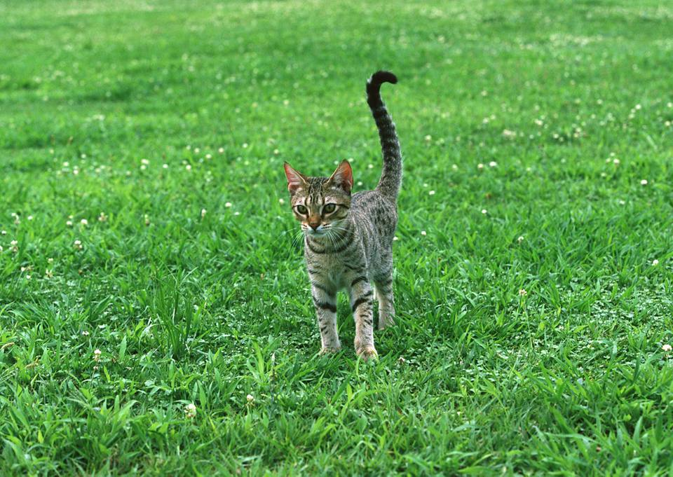 Ocicat standing on grass