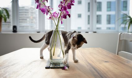 Calico Cat on Table Knocking a Flower Petal Around