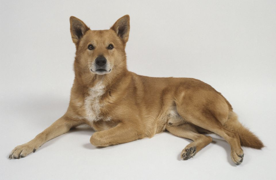 Canaan dog, lying down
