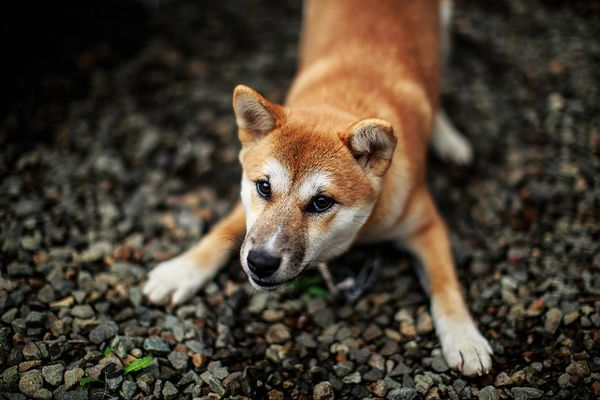 Dog crouching on front legs as if bowing