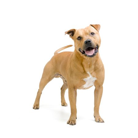 staffordshire bull terrier dog breed profile
