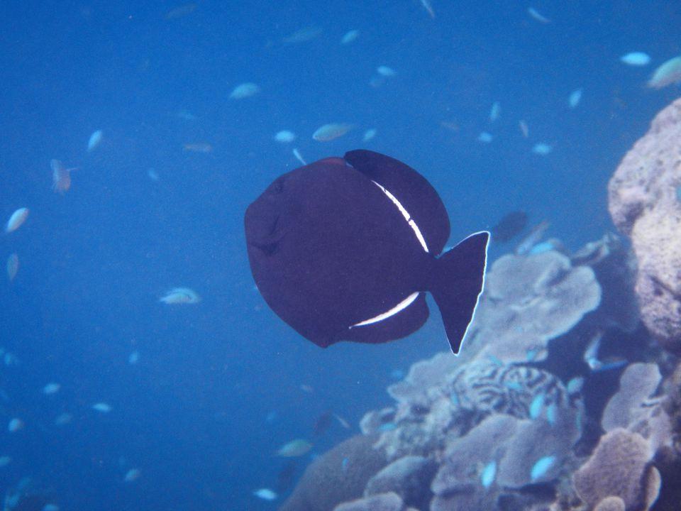 Melichthys niger