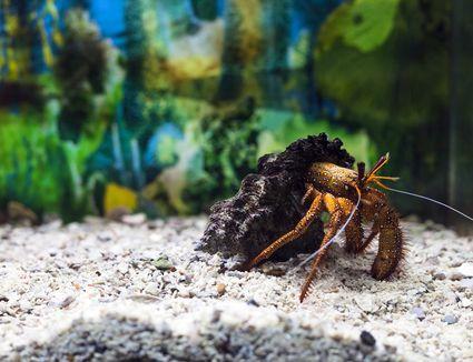 Hermit crab in shell. Dardanus megistos in aquarium