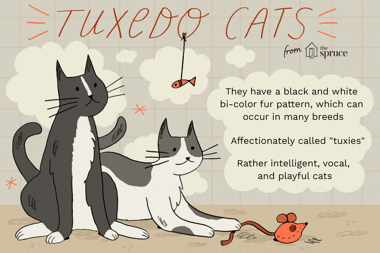 Tuxedo Cat Breed Profile