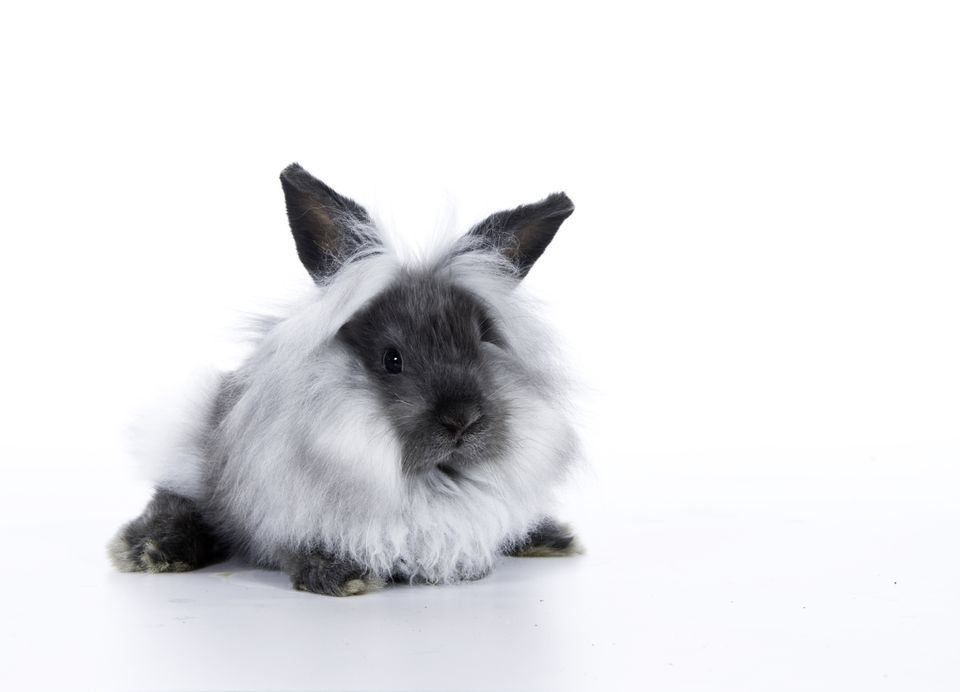 Grey and White Lionhead Rabbit on white background
