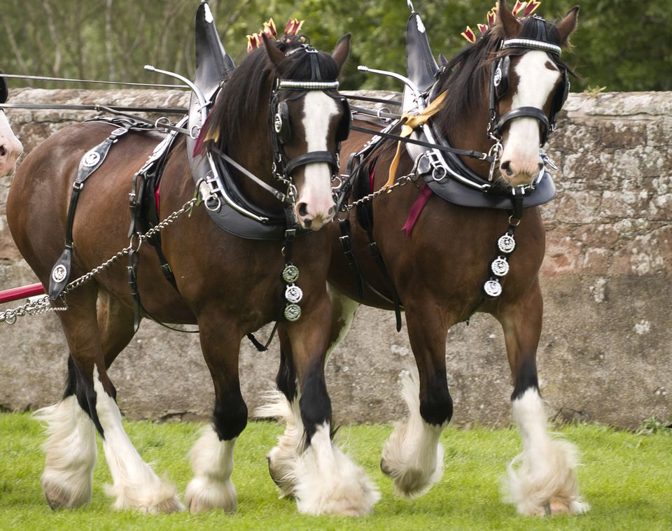 Clydesdale horses in full harnesses