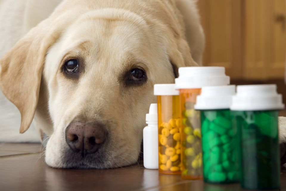 Yellow labrador retriever resting head on ground next to pill drams.