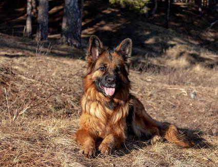 King Shepherd dog smiling laying in the sun