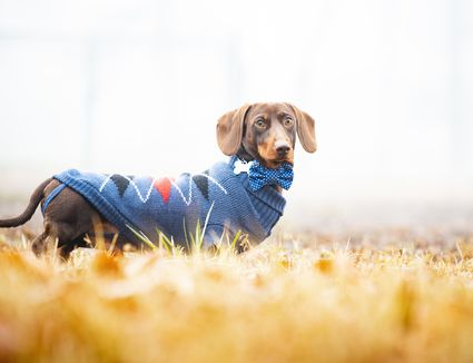 dog with a sweater on