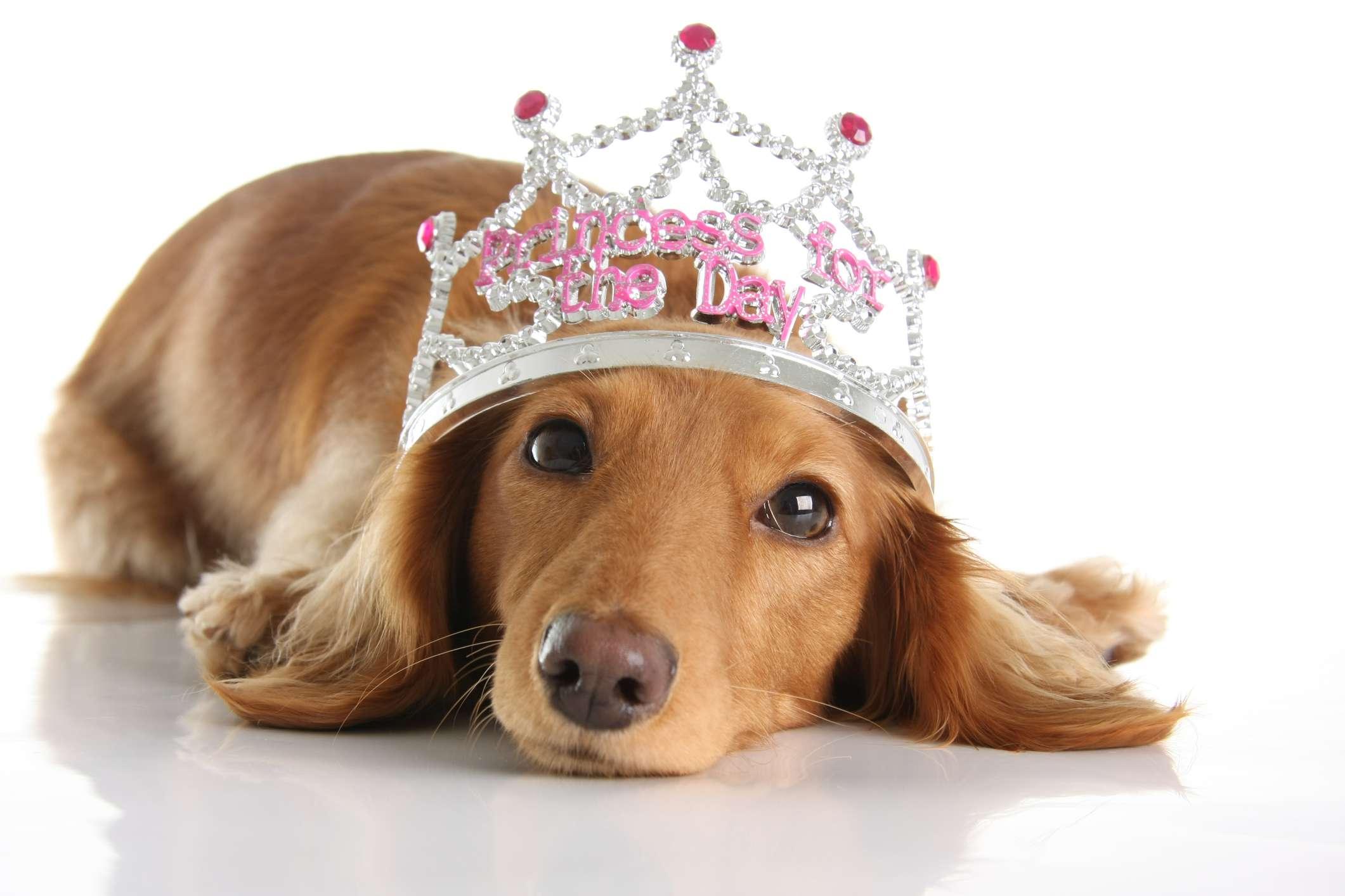 A Dachshund wearing a tiara