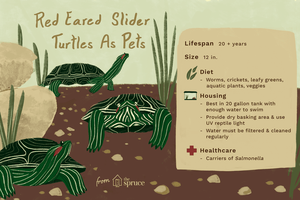 illustration of red eared slider turtles as pets