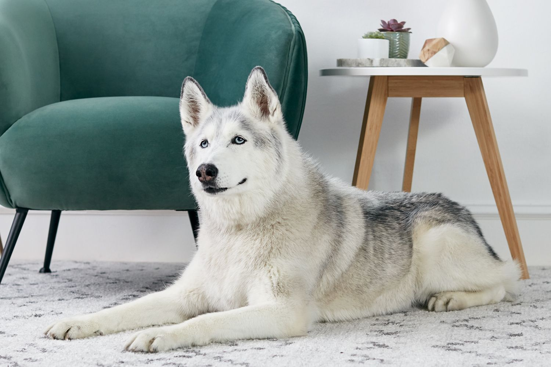 Siberian Husky Full Profile History