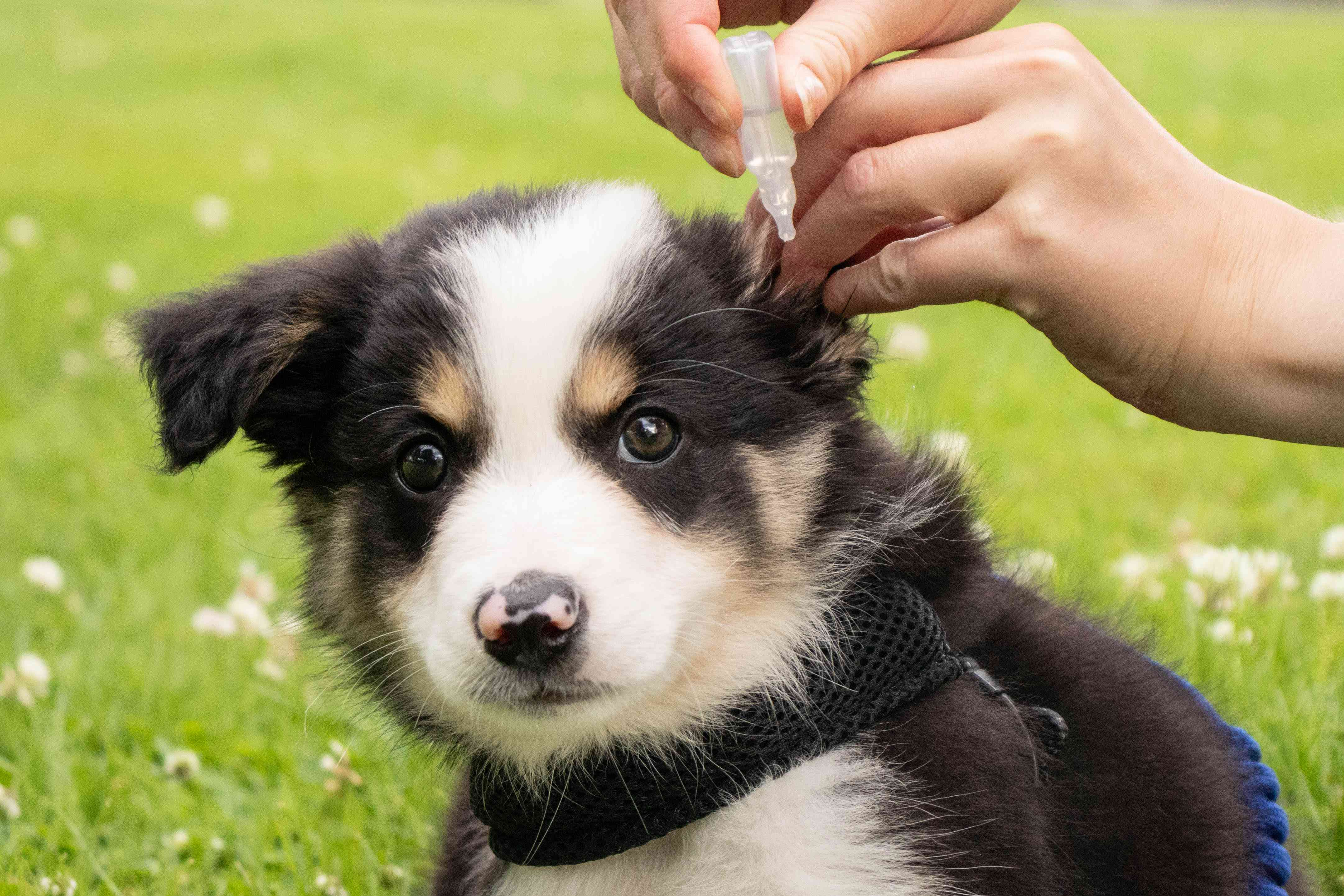 Ear mite medication drops being placed inside black and white puppy's ear