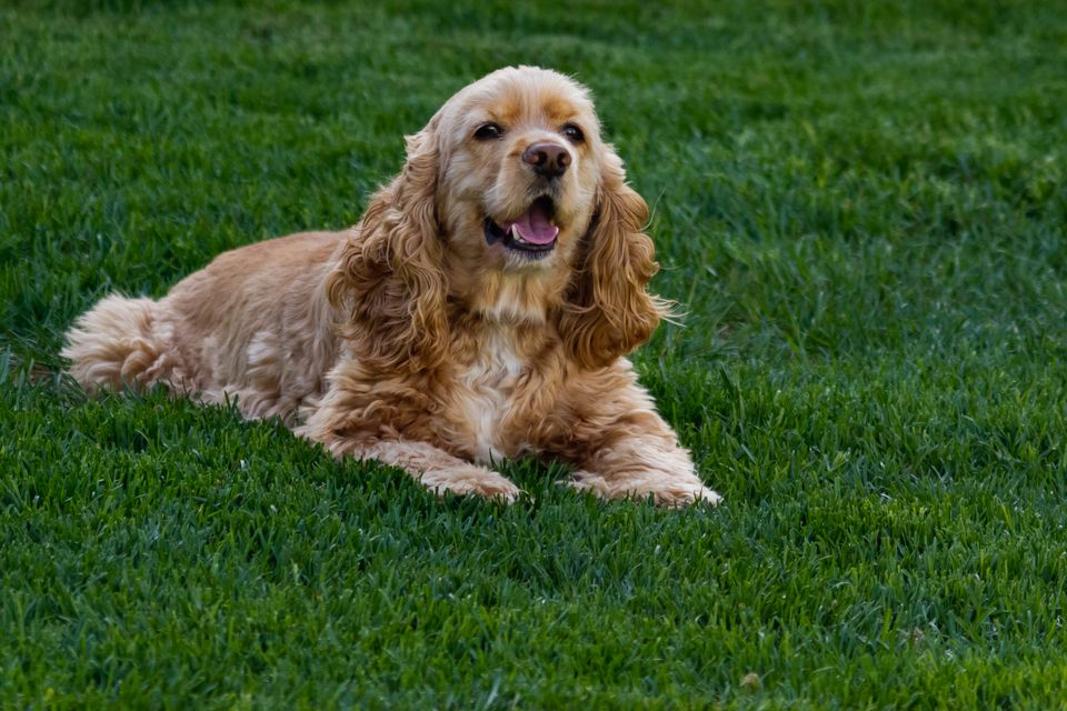 American cocker spaniel laying in green grass