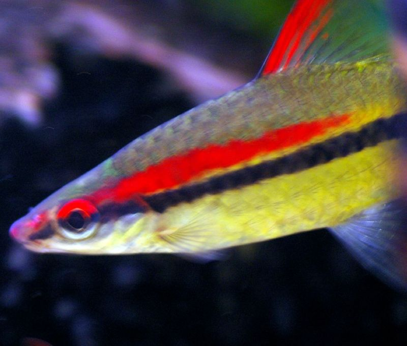 Denison Barb - Puntius denisonii